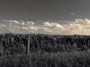 11. BW - Cornfields, Sky - Innisfil, Ontario, Canada July 2014. (SM CADMAN)