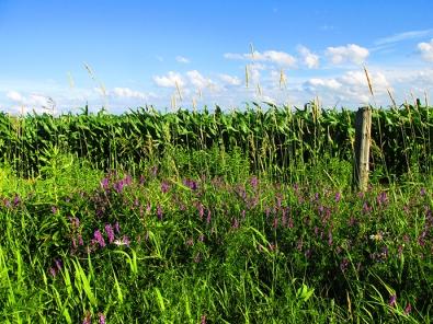 12. C - Cornfields, Sky, Purple Loosestrife - Innisfil, Ontario, Canada July 2014. (SM CADMAN)
