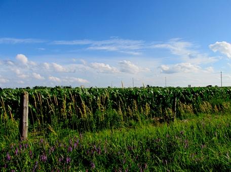 14. C - Cornfields, Sky - Innisfil, Ontario, Canada July 2014. (SM CADMAN)