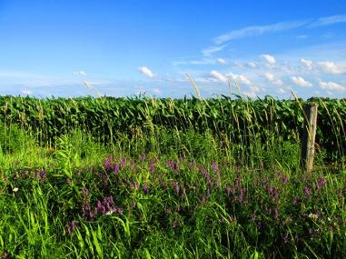 16. C - Cornfields, Sky, Purple Loosestrife - Innisfil, Ontario, Canada July 2014. (SM CADMAN)