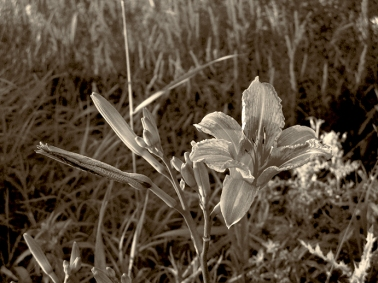 21. BW - Wild Tiger Lily - Innisfil, Ontario, Canada July 2014. (SM CADMAN)