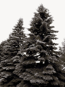 24. BW - Tall Pine Trees - Barrie, Ontario, Canada July 2014. (SM CADMAN)