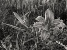 27. BW - Wild Tiger Lily - Innisfil, Ontario, Canada July 2014. (SM CADMAN)