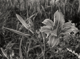 27. BW - Wild Tiger Lily - Innisfil, Ontario, Canada July 2014. (SM CADMAN)