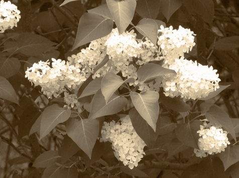 28. T - White Blooms - Barrie, Ontario, Canada July 2014. (SM CADMAN)