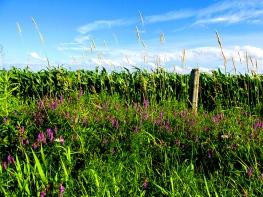 3. C - Cornfields, Sky, Purple Loosesrife - Innisfil, Ontario, Canada July 2014. (SM CADMAN)