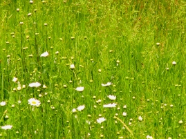 30. C - Wild Daisies, Long Grass - Barrie, Ontario, Canada July 2014. (SM CADMAN)