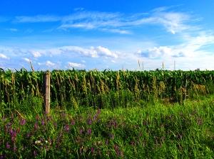 4. C- Cornfields, Sky, Purple Loosestrife - Innisfil, Ontario, Canada July 2014. (SM CADMAN)