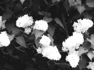 40. BW - White Blooms - Barrie, Ontario, Canada July 2014. (SM CADMAN)
