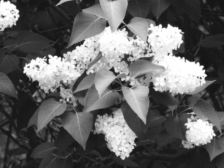 41. BW - White Blooms - Barrie, Ontario, Canada July 2014. (SM CADMAN)