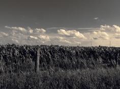 45. T - Cornfields, Sky - Innisfil, Ontario, Canada July 2014. (SM CADMAN)