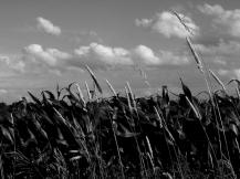 5. BW - Cornfields, Sky - Innisfil, Ontario, Canada July 2014. (SM CADMAN)