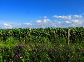 6. C- Cornfields, Sky, Purple Loosestrife - Innisfil, Ontario, Canada July 2014. (SM CADMAN)