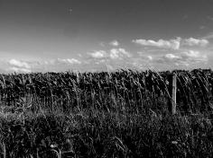 7. BW - Cornfields, Sky - Innisfil, Ontario, Canada July 2014. (SM CADMAN)