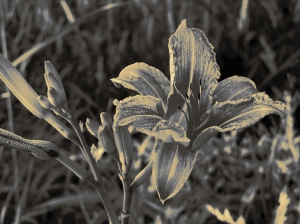 9. T- Wild Tiger Lily - Innisfil, Ontario, Canada July 2014. (SM CADMAN)