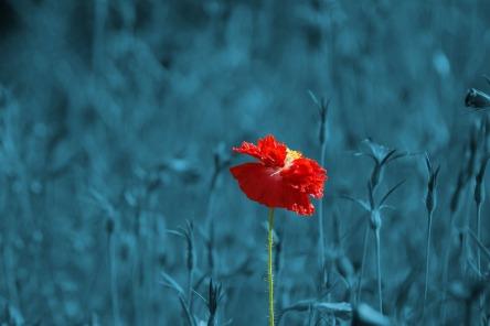 poppy-186635_1280