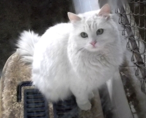 Turkish_Angora_in_Ankara_Zoo_(AOÇ)